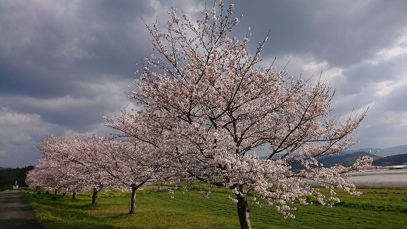 桜,桜前線,北上中,夜桜見物